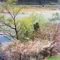 桜とバック運転のC11312