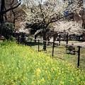 菜の花花壇と桜
