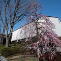 Photos: 01府中市郷土の森【入り口に咲いていた呉羽枝垂】