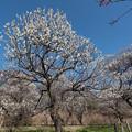 Photos: 23府中市郷土の森【梅:白加賀】2