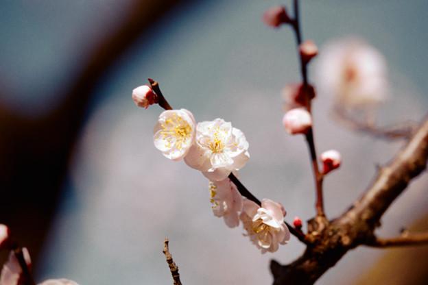 Photos: 21府中市郷土の森【梅:豊後】11銀塩NLP