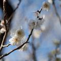 Photos: 28府中市郷土の森【梅:白加賀】7