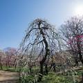 Photos: 39府中市郷土の森【梅:月影枝垂】1