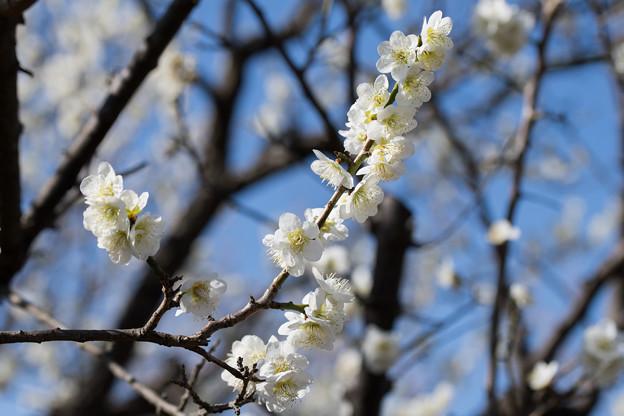63府中市郷土の森【梅:一重緑萼】1