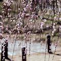 Photos: 09大倉山梅林【梅:淡路枝垂】6銀塩NLP