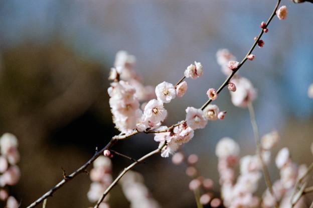 26大倉山梅林【梅:見驚】4銀塩NLP