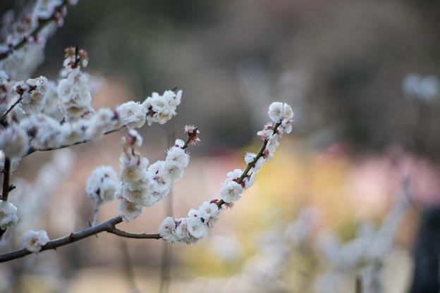 22大倉山梅林【梅:蓬莱】6