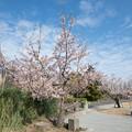 03大船フラワーセンター【玉縄桜】1