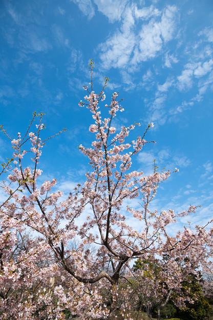 04大船フラワーセンター【玉縄桜】2