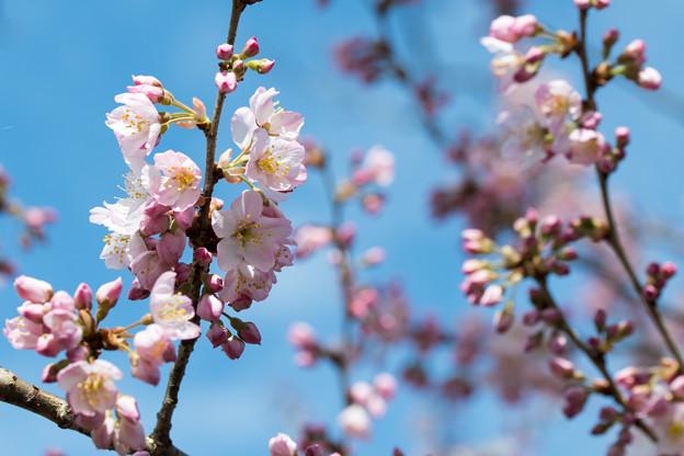 12大船フラワーセンター【春めき(足柄桜)】3