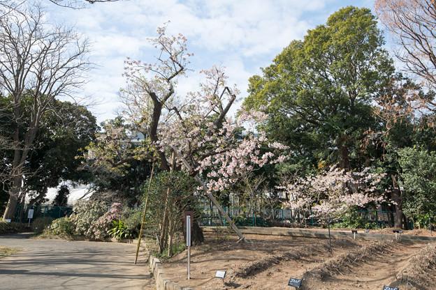 01大船フラワーセンター【玉縄桜の原木】1