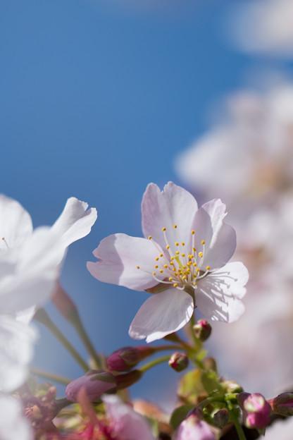09大船フラワーセンター【玉縄桜】7