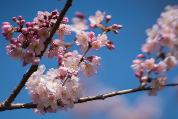 14大船フラワーセンター【春めき(足柄桜)】5