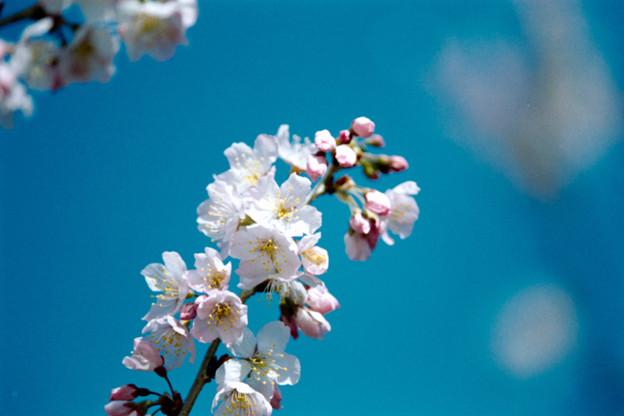 16大船フラワーセンター【春めき(足柄桜)】7銀塩NLP