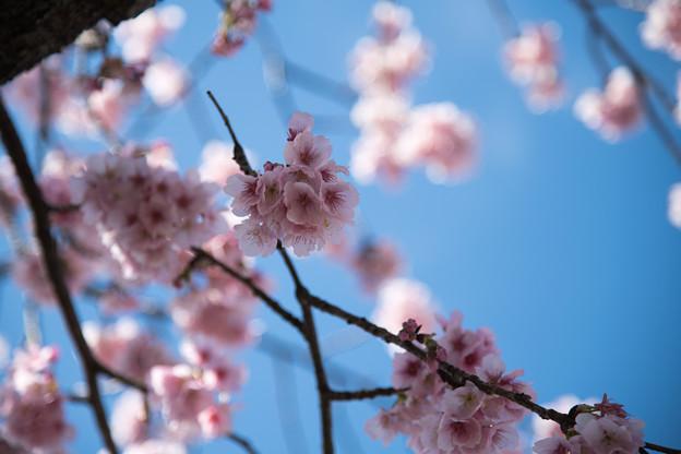 28大船フラワーセンター【大寒桜】3