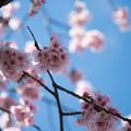 Photos: 28大船フラワーセンター【大寒桜】3