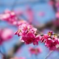 Photos: 36大船フラワーセンター【大寒桜(実生)】4