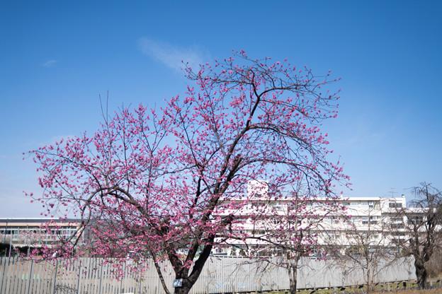 33大船フラワーセンター【大寒桜(実生)】1