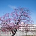 Photos: 33大船フラワーセンター【大寒桜(実生)】1