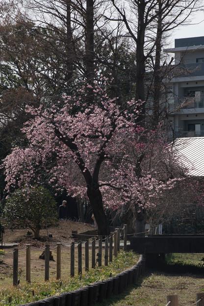26大船フラワーセンター【大寒桜】1