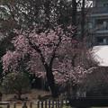 Photos: 26大船フラワーセンター【大寒桜】1