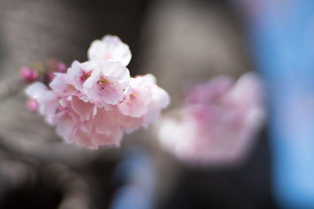 31大船フラワーセンター【大寒桜】6