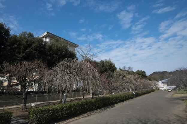 01大船フラワーセンター【梅園の眺め】1