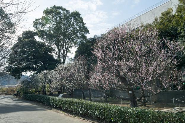 02大船フラワーセンター【梅園の眺め】2