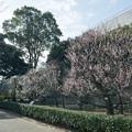 Photos: 02大船フラワーセンター【梅園の眺め】2