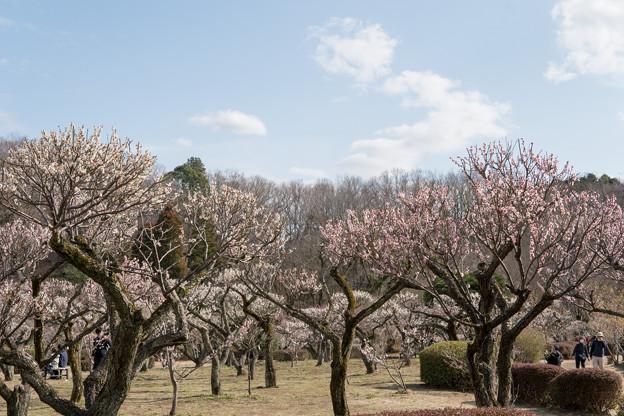 03薬師池公園【梅林の眺め】3