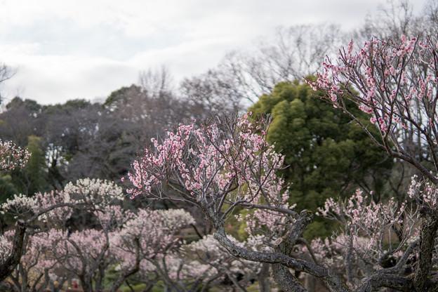 04薬師池公園【梅林の眺め】4