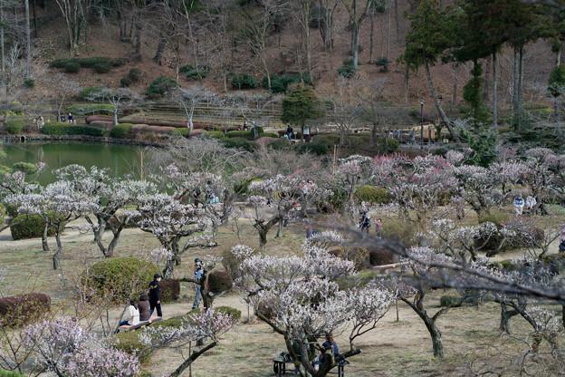 11薬師池公園【薬師池と梅】4