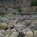 Photos: 11薬師池公園【薬師池と梅】4