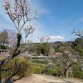 Photos: 12薬師池公園【薬師池と梅】5