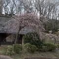 Photos: 18薬師池公園【旧永井家と梅】4