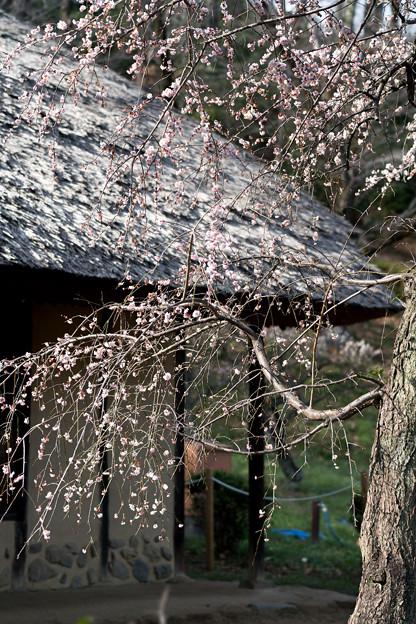 20薬師池公園【旧永井家と梅】6