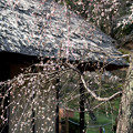 Photos: 20薬師池公園【旧永井家と梅】6