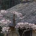 Photos: 19薬師池公園【旧永井家と梅】5