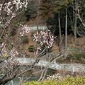 14薬師池公園【薬師池と梅】7