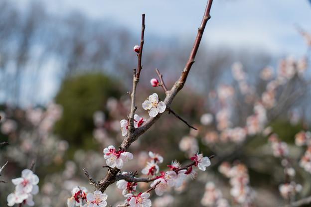 Photos: 23薬師池公園【豊後梅】1