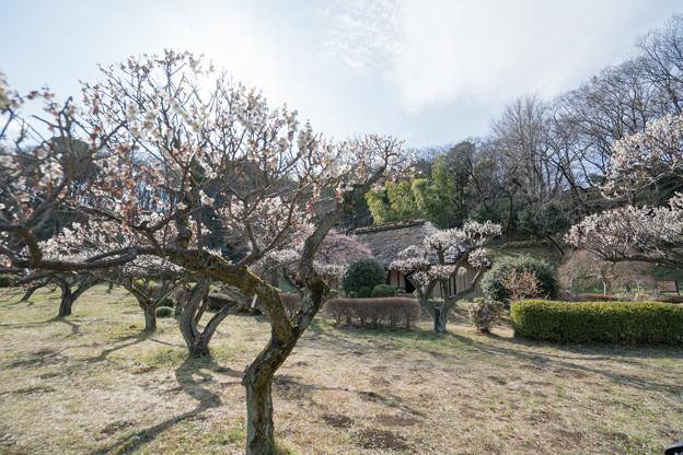 15薬師池公園【旧永井家と梅】1