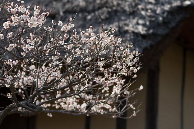 Photos: 21薬師池公園【旧永井家と梅】7