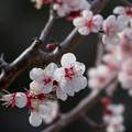 Photos: 26薬師池公園【豊後梅】4