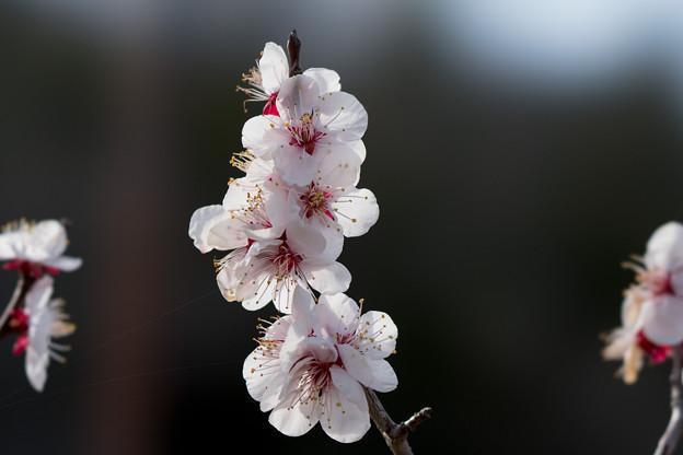 27薬師池公園【豊後梅】5