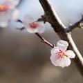 Photos: 28薬師池公園【豊後梅】6