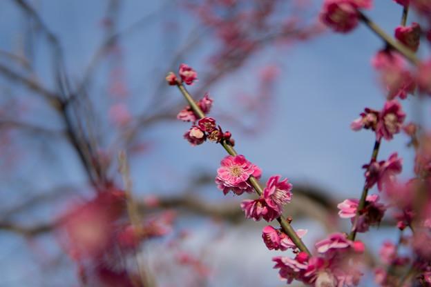 35薬師池公園【紅梅】3
