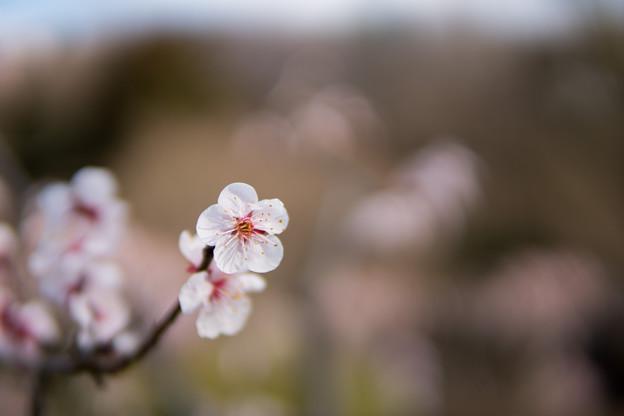 Photos: 30薬師池公園【豊後梅】8