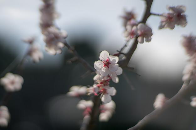 25薬師池公園【豊後梅】3