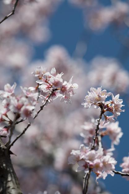 42花菜ガーデン【桜:啓翁桜】5