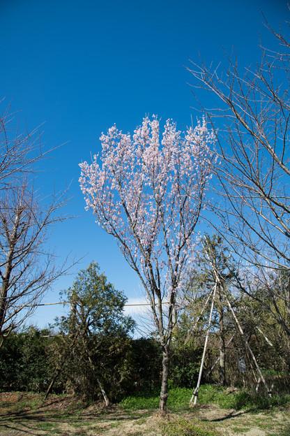 38花菜ガーデン【桜:啓翁桜】1